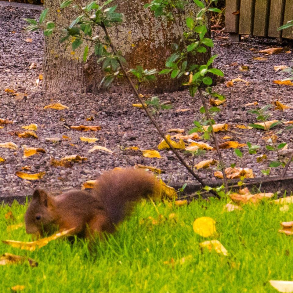 A squirrel in the Hesperiden Gardens